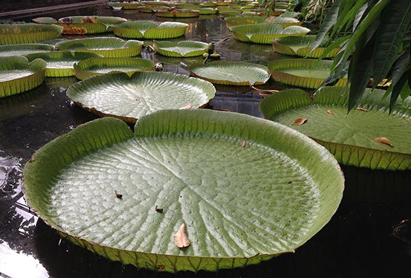 botanischer garten bonn riesenseerosenblätter