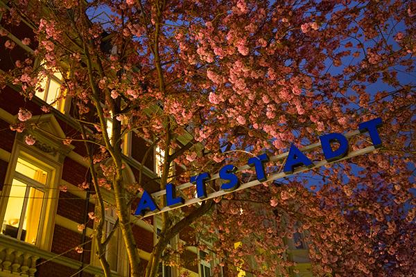 Kirschblüten10