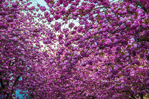 Kirschblüten3