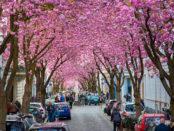Kirschblüten4