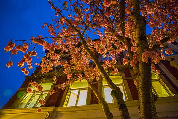 Kirschblüten5