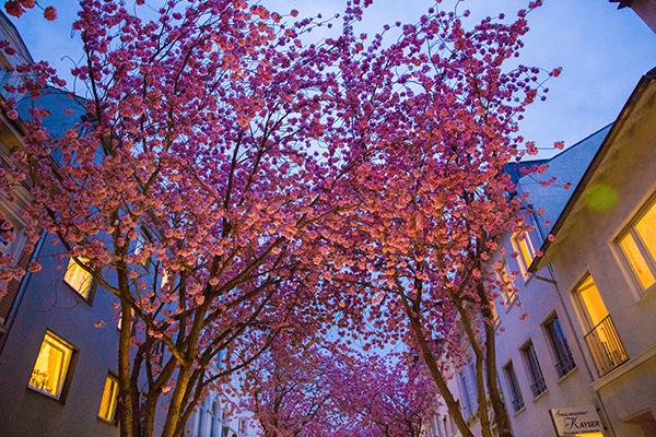 Kirschblüten7