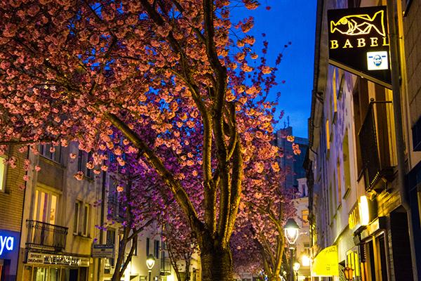 Kirschblüten9